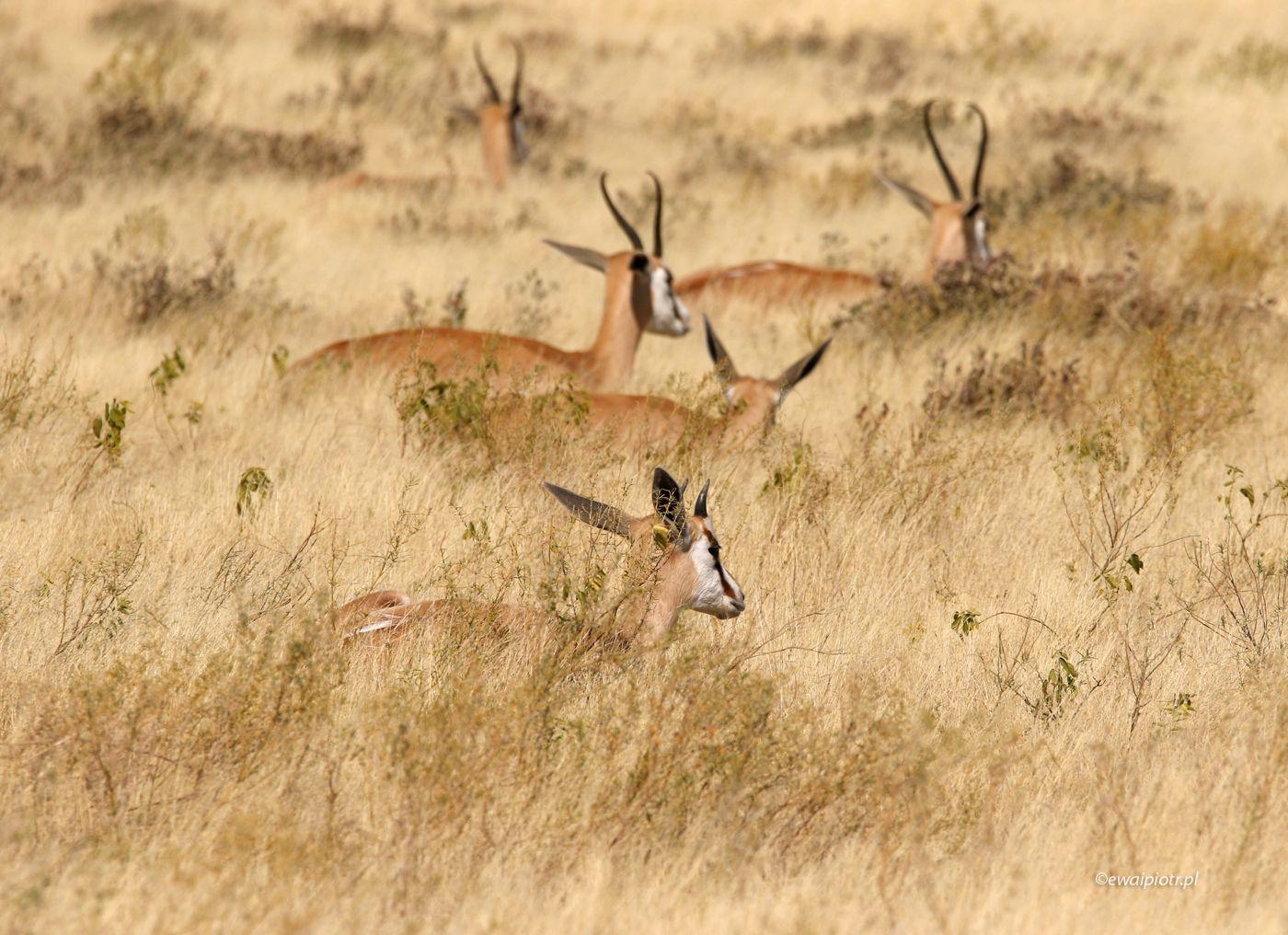 Antylopy i sawanna, Namibia
