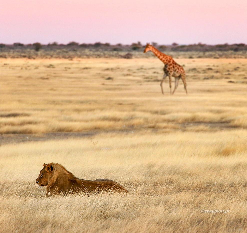 Lew i żyrafa, Namibia