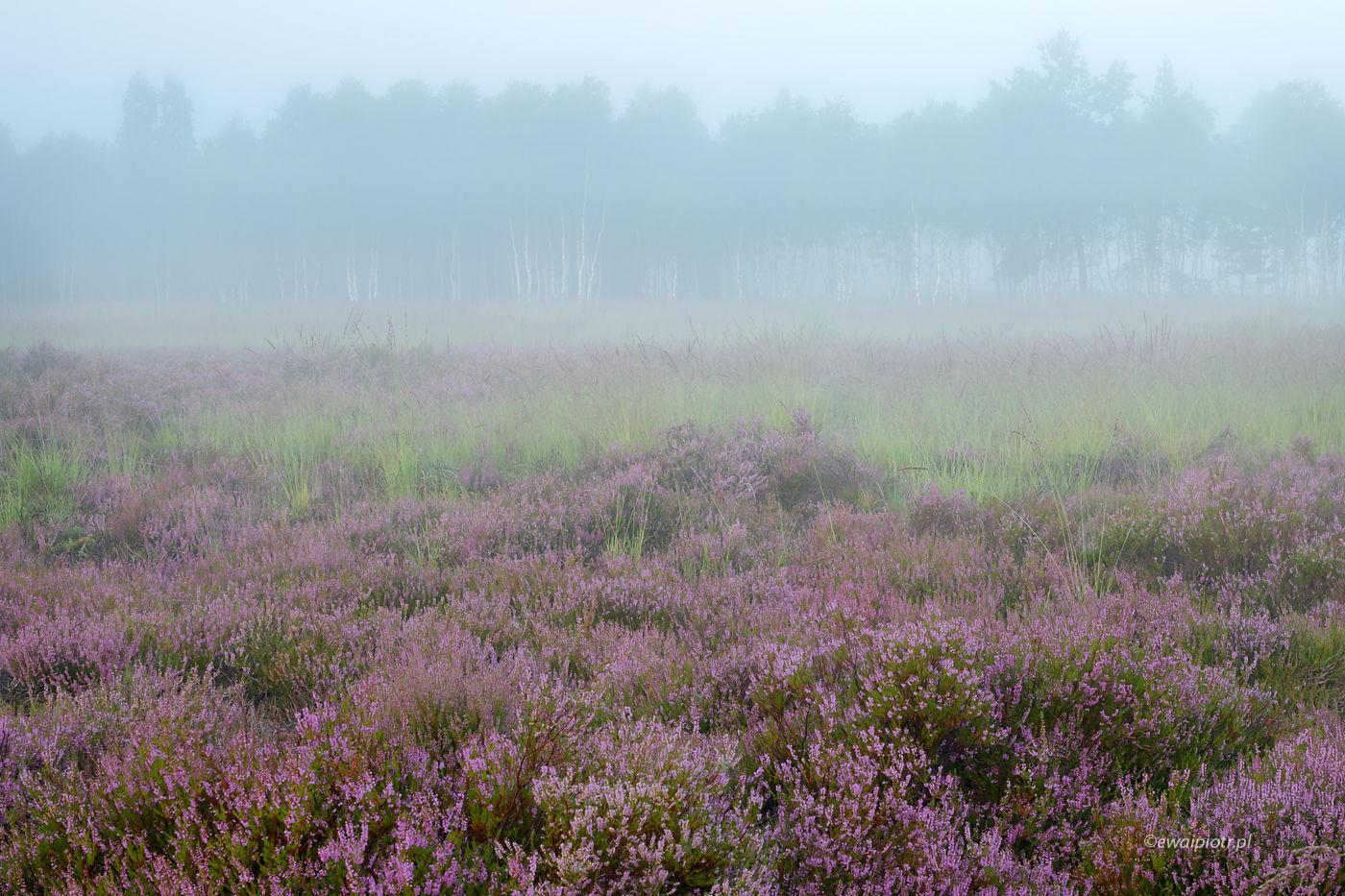 Mgły na wrzosowisku, Wrzosowa Kraina, warsztaty fotograficzne
