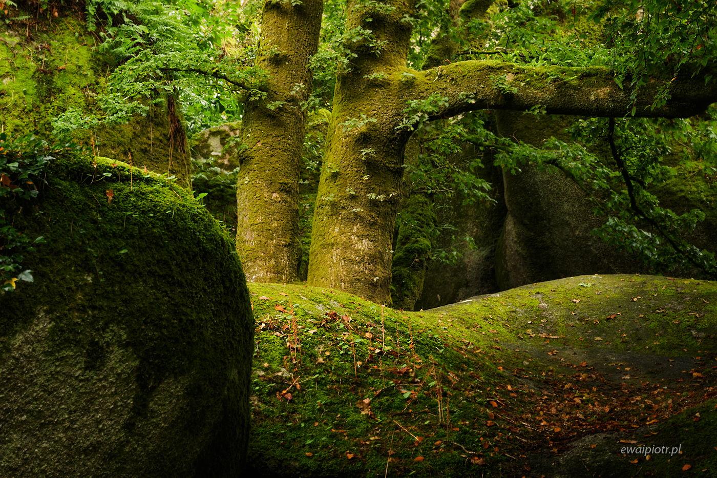 Pnie i głazy, las Huelgoat, Bretania